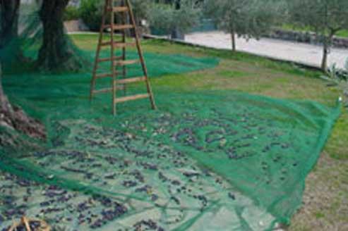 Olives dans des filets