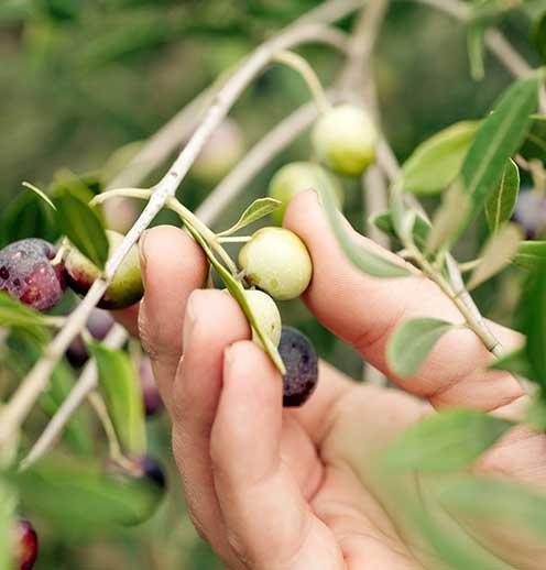 Olives branche
