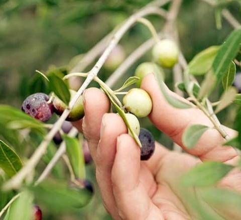 Cueillette dans un olivier