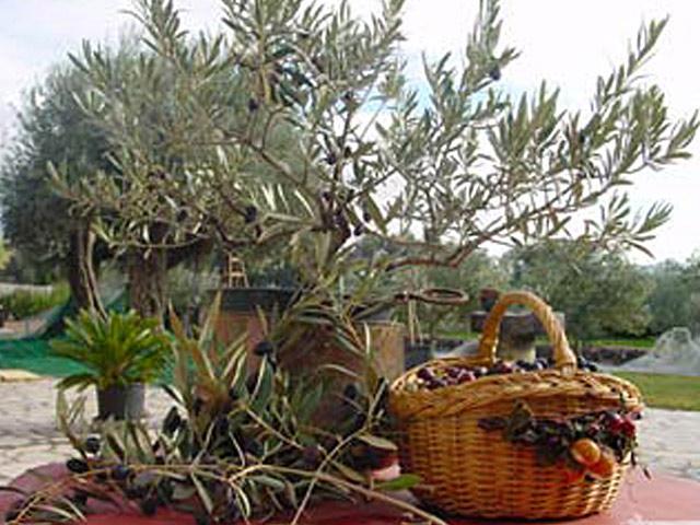 Producteur Champ d'olivier