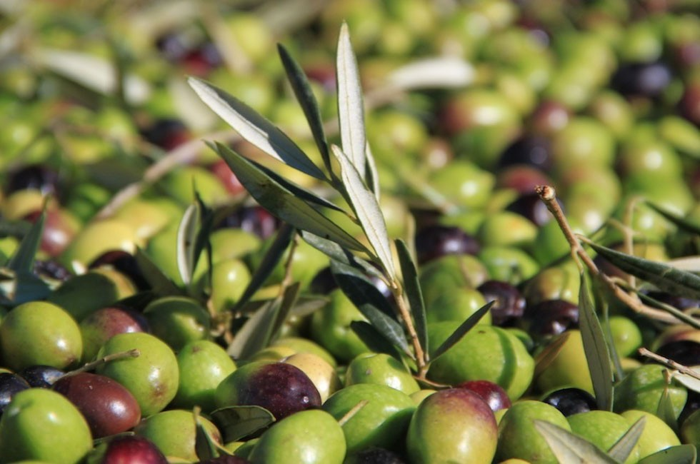Producteur Olive