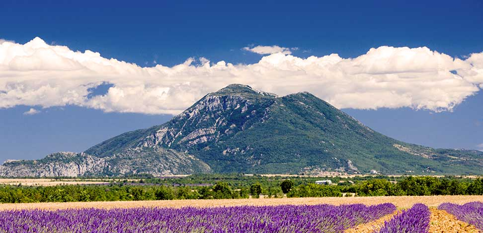 Champ d'olivier Provence
